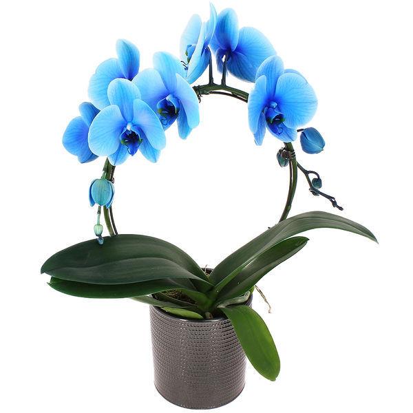 Orchidée ORCHIDEE BLEUE + POT EN CÉRAMIQUE