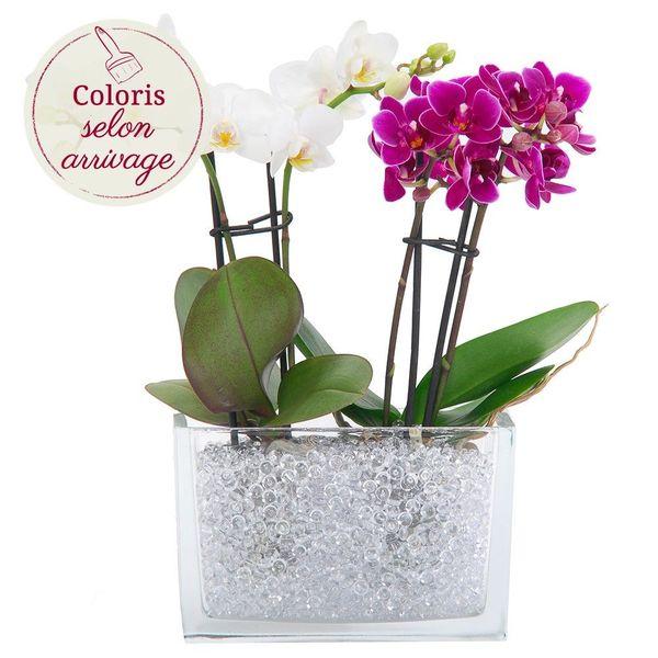 Orchidée DUO MINI ORCHIDEES