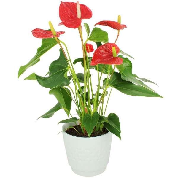 Plantes d'intérieur ANTHURIUM + POT EN CERAMIQUE