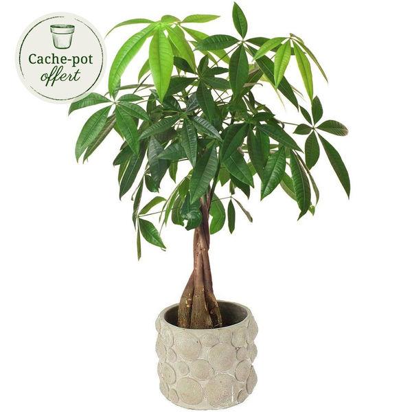 Plantes et Arbustes PACHIRA + POT CIMENT