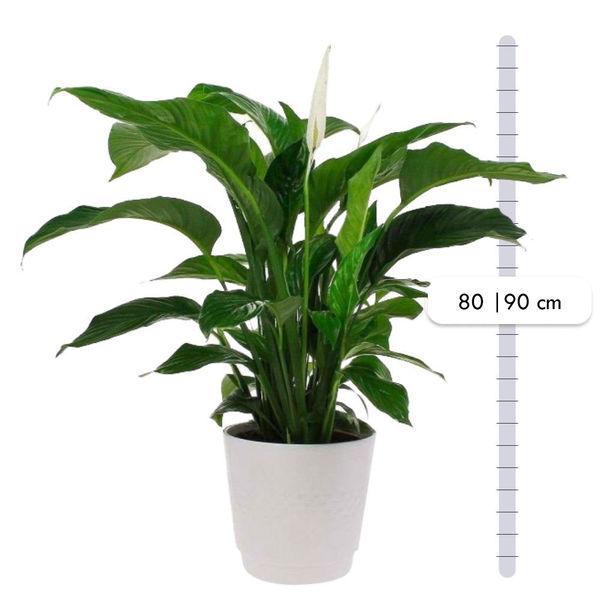 Plantes d'intérieur SPATHIPHYLLUM