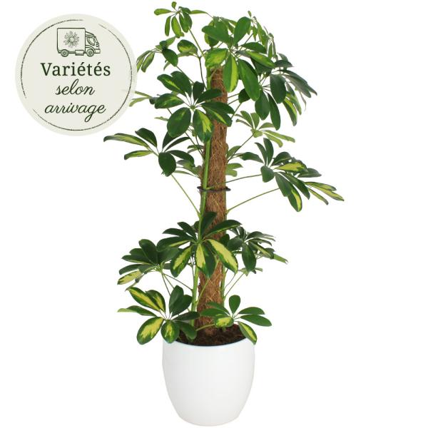 Plantes d'intérieur SCHEFFLERA