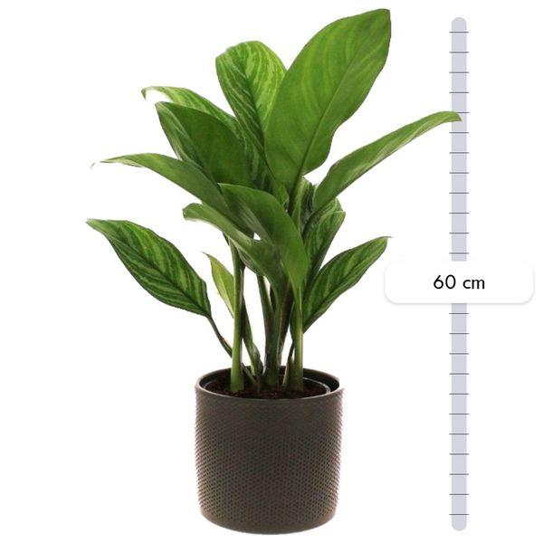 Plantes d'intérieur AGLAONEMA & POT