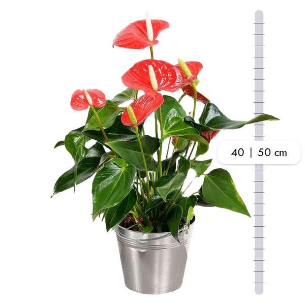 Plantes d'intérieur ANTHURIUM + POT ZINC