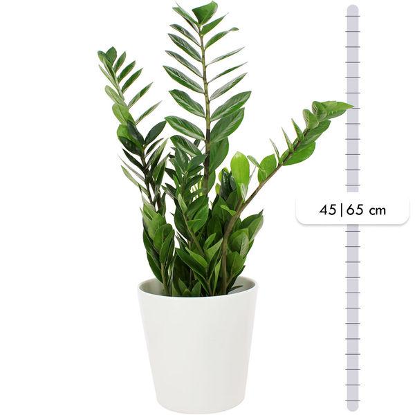 Plantes d'intérieur ZAMIOCULCAS + POT EN CERAMIQUE