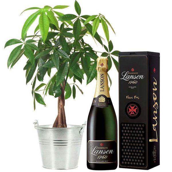 Cadeaux insolites PACHIRA + CHAMPAGNE LANSON BRUT + MUSIC BOX
