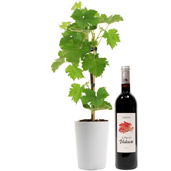Plantes et Arbustes PIED DE VIGNE + VIN ROUGE