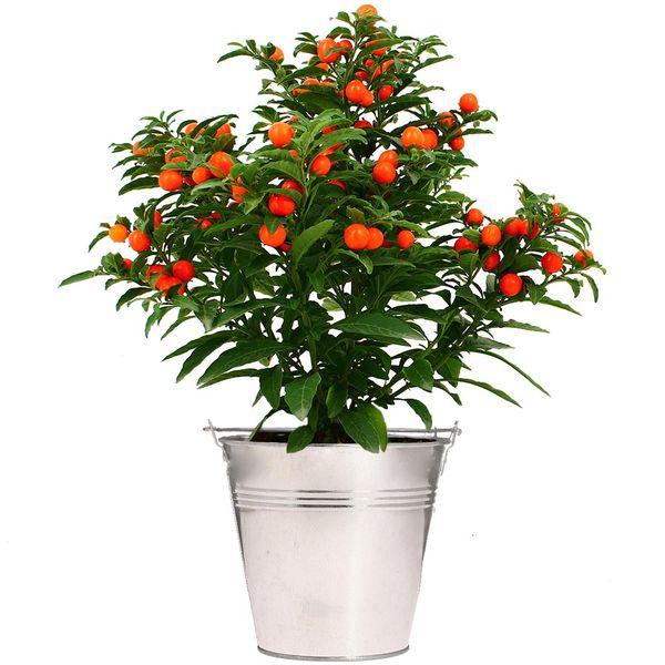 Plantes d'intérieur SOLANUM