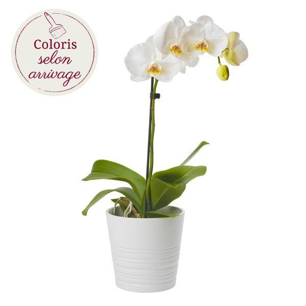 Orchidée ORCHIDEE 1 BRANCHE