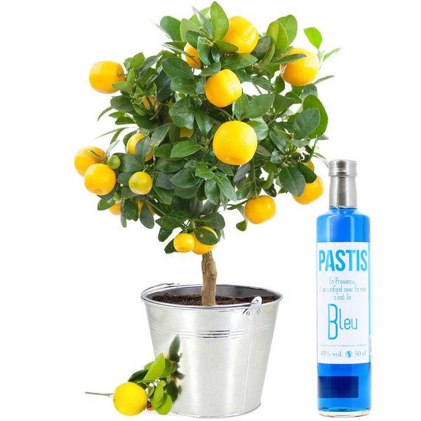 Plante verte CITRONNIER + PASTIS BLEU