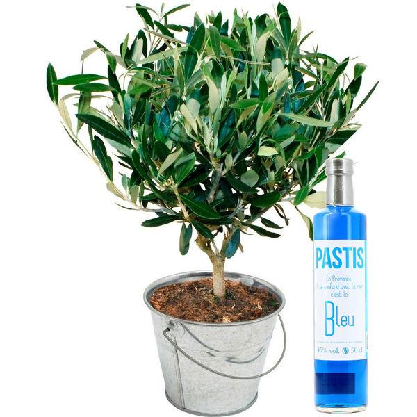 Plantes et Arbustes OLIVIER + PASTIS BLEU
