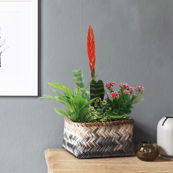 Plantes d'intérieur BROMELIA