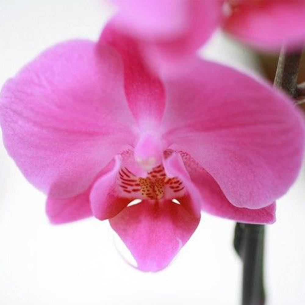 Orchidée ORCHIDEE FUCHSIA 1 BRANCHE