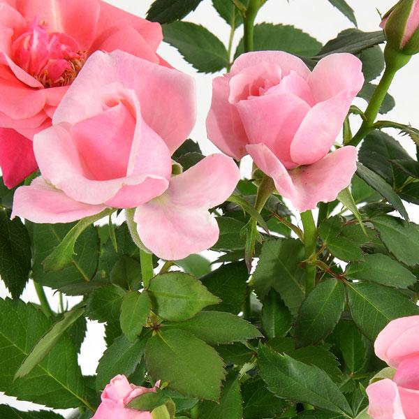 Plantes et Arbustes ROSIER ROSE