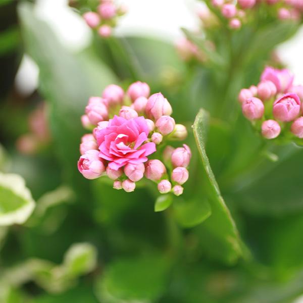 Plantes et Arbustes BROMELIA