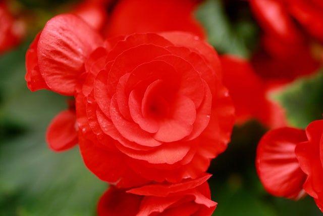 Plante verte fleurie begonia livraison express - Begonia d interieur arrosage ...