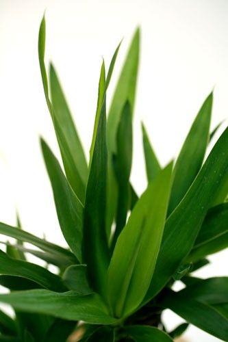 Plante verte YUCCA 2 PIEDS