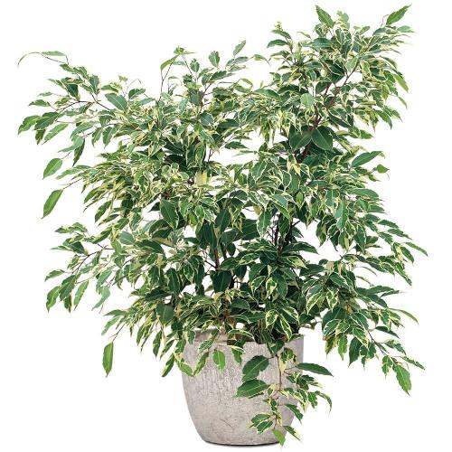Ficus panach plante verte livraison express florajet for Ficus plante interieur