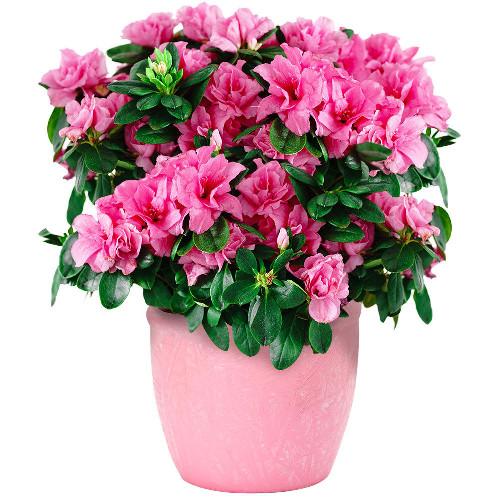 Plantes et arbustes azalee fuchsia livraison express for Plantes et arbustes