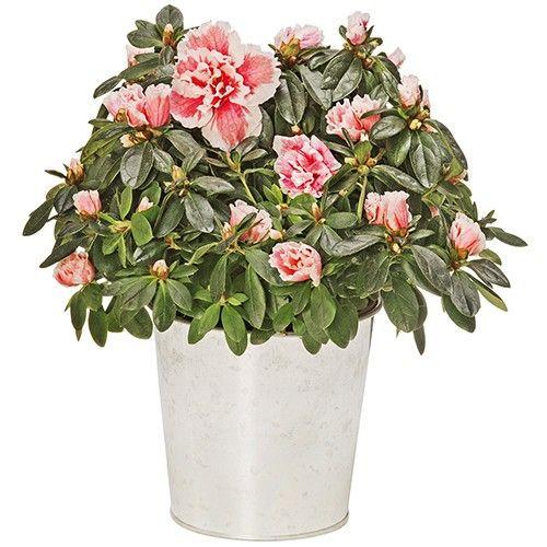 Plantes et arbustes azalee multirose livraison express for Plantes et arbustes