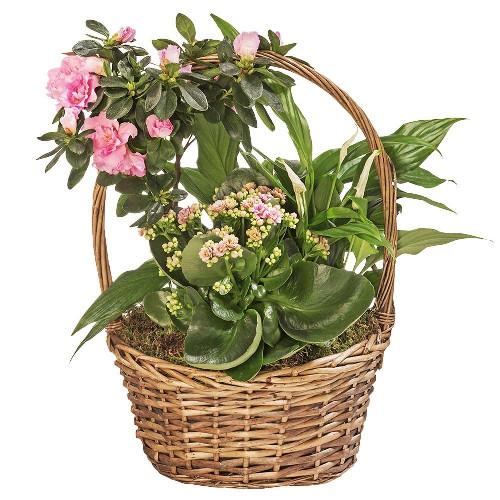 Plantes et Arbustes MATIN RADIEUX