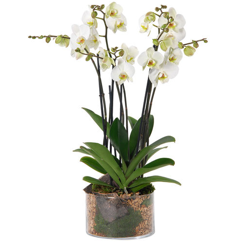 ORCHIDEE 4 BRANCHES BLANCHES - 1