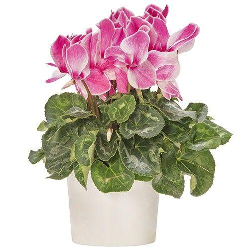 Plantes et Arbustes CYCLAMEN MULTIROSE