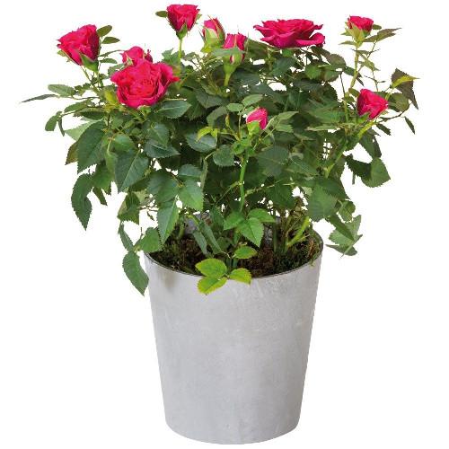 Plantes et Arbustes ROSIER FUCHSIA
