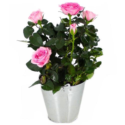 Plantes et Arbustes ROSIER ROSE CLAIR