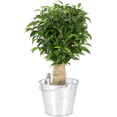 Plantes et Arbustes BONSAI FICUS