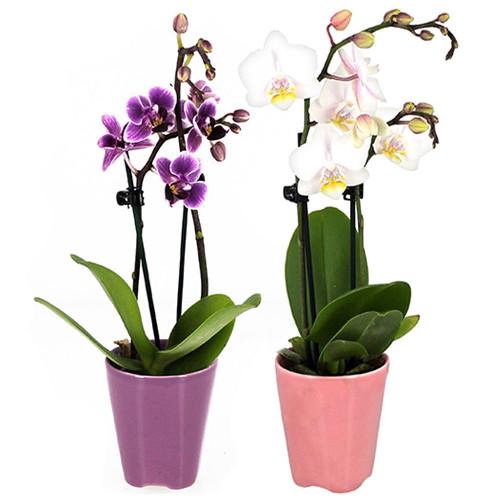 Orchidée 2 MINI ORCHIDEES