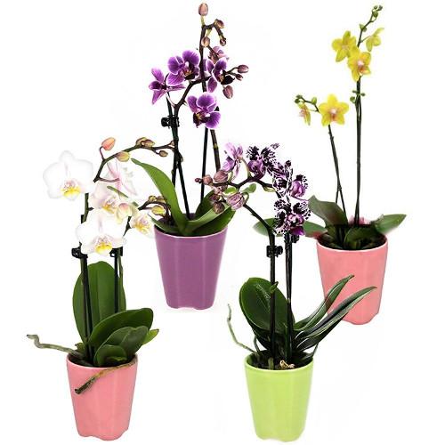 Orchidée 4 MINI ORCHIDEES