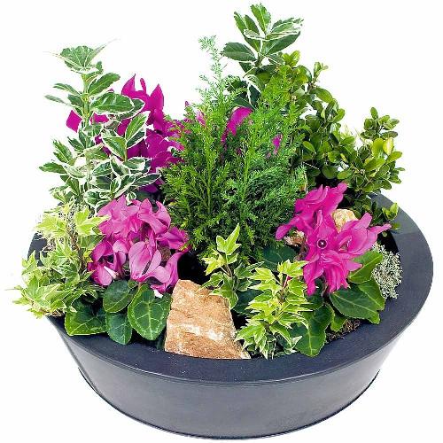 Plantes et Arbustes COUPE CYCLAMEN