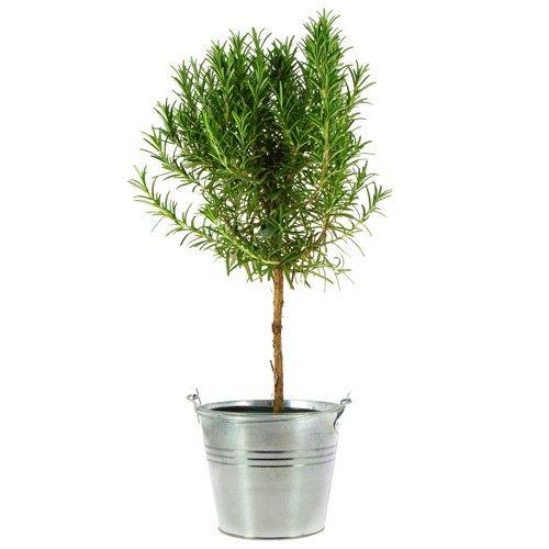 Plantes et arbustes romarin en pot livraison express for Plantes et arbustes