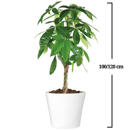 Plantes et Arbustes PACHIRA