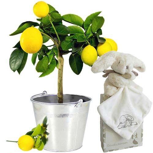 cadeaux naissance citronnier doudou lapin livraison express florajet. Black Bedroom Furniture Sets. Home Design Ideas