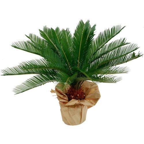 Plantes et arbustes cycas livraison express florajet for Plantes et arbustes