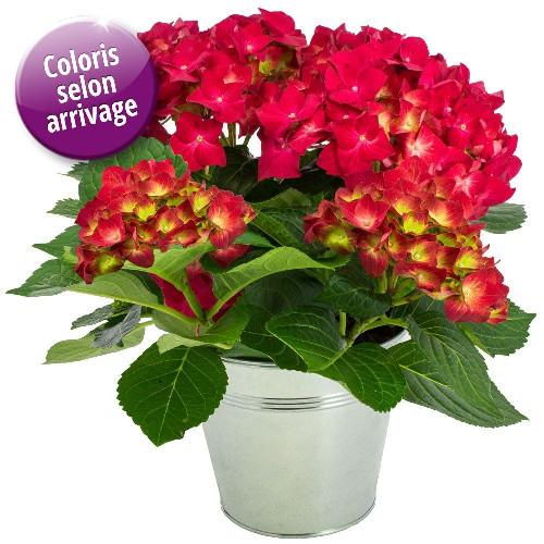 Plantes et arbustes hortensia livraison express florajet for Plantes et arbustes