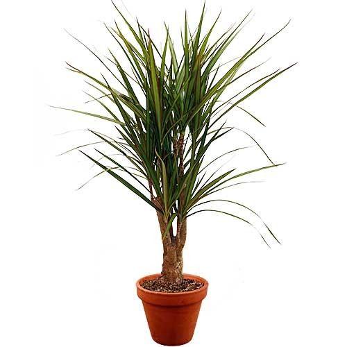 plante verte plante verte livraison en allemagne florajet. Black Bedroom Furniture Sets. Home Design Ideas