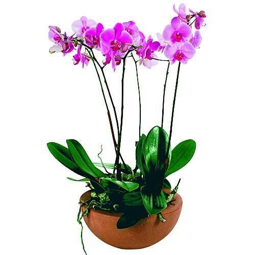 Orchidée COUPE DE PHALAENOPSIS