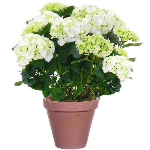 hortensia blanc plante fleurie livraison express floraje. Black Bedroom Furniture Sets. Home Design Ideas