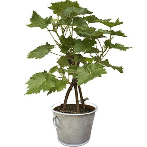 Plantes et Arbustes PIED DE VIGNE