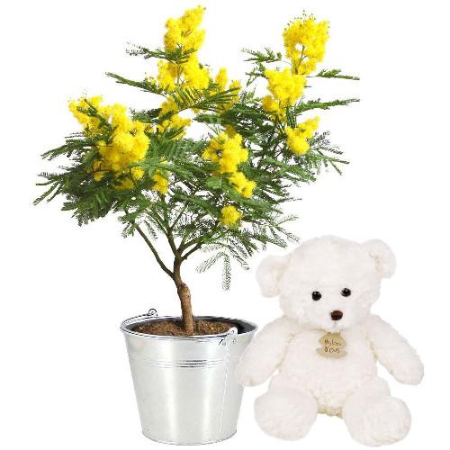 Plantes et arbustes mimosa en pot ourson livraison for Plantes et arbustes