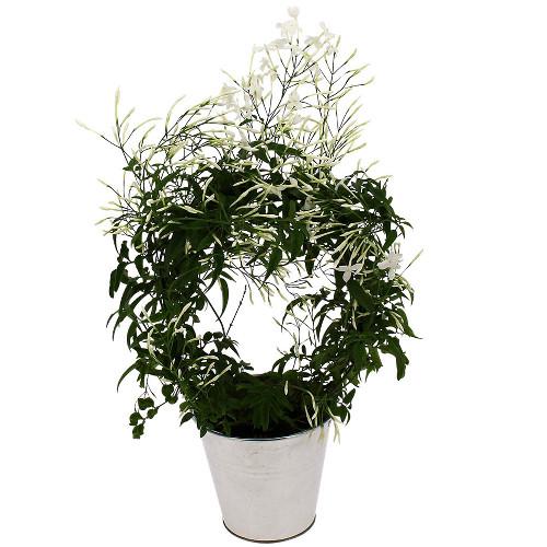 livraison express plante fleurie jasmin en pot florajet. Black Bedroom Furniture Sets. Home Design Ideas