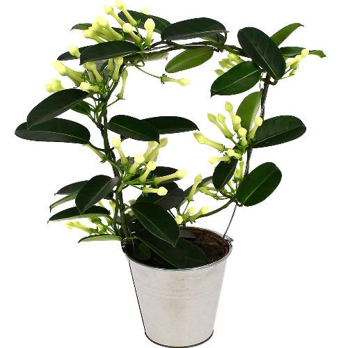 Plantes et Arbustes STEPHANOTIS EN POT
