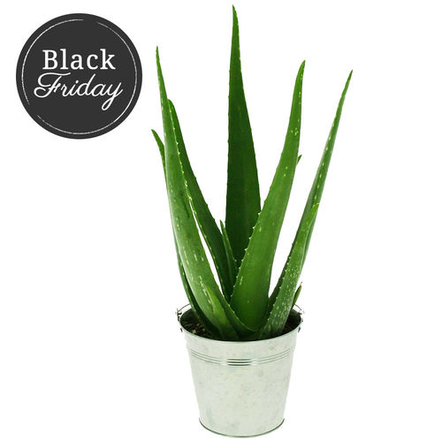 plantes et arbustes aloe vera pot en zinc livraison express florajet. Black Bedroom Furniture Sets. Home Design Ideas