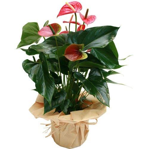 Plante fleurie ANTHURIUM