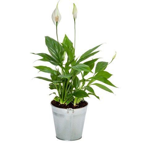 Plante fleurie SPATHIPHYLLUM