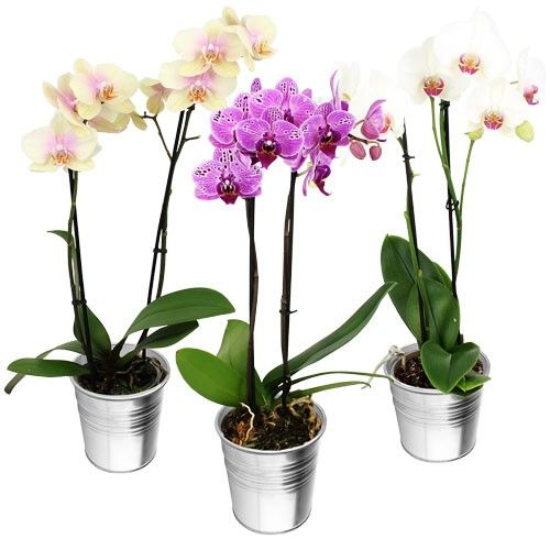 Bons plans 1 ORCHIDEE 2 BRANCHES