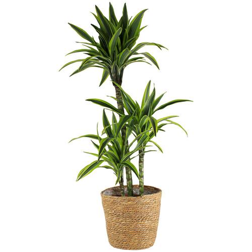 Grandes plantes DRACENA MASSANGEANA + POT EN ZINC